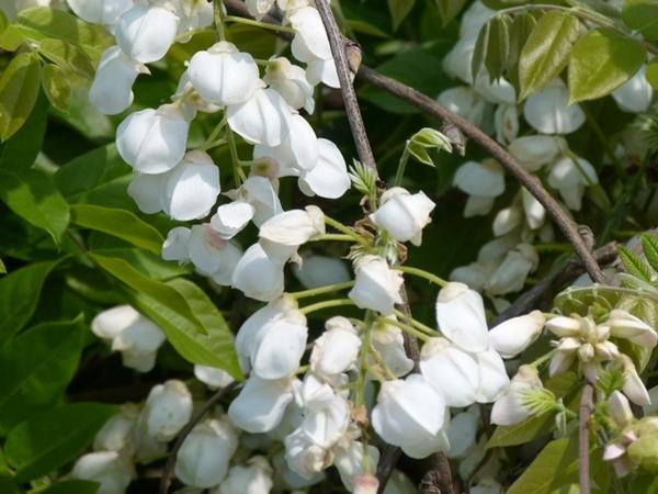 白い藤.JPG