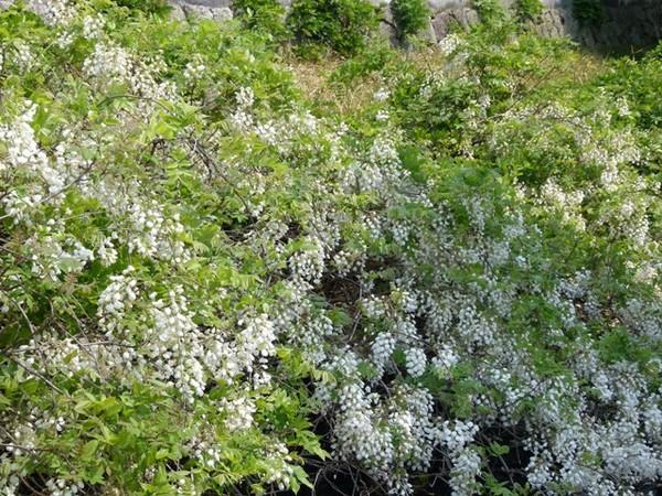 白い藤の密集.JPG