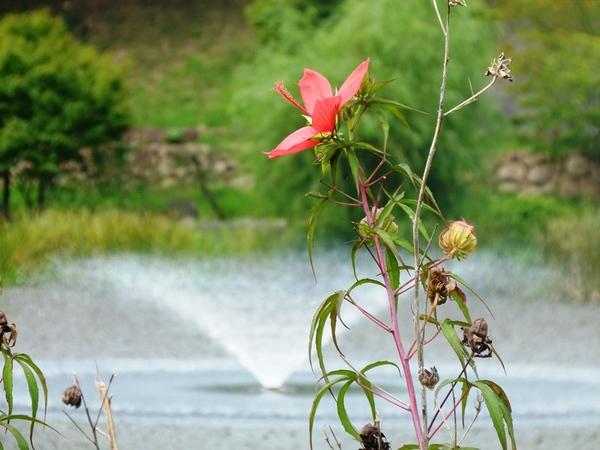 噴水とモミジ葵1.JPG